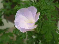 雨に濡れたブルーハイビスカス