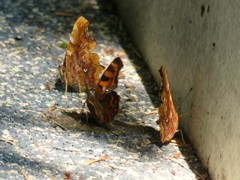 水を吸っている蝶