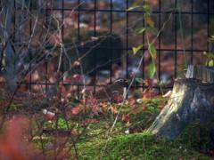 庭に来たガビチョウ