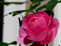 庭の秋バラ