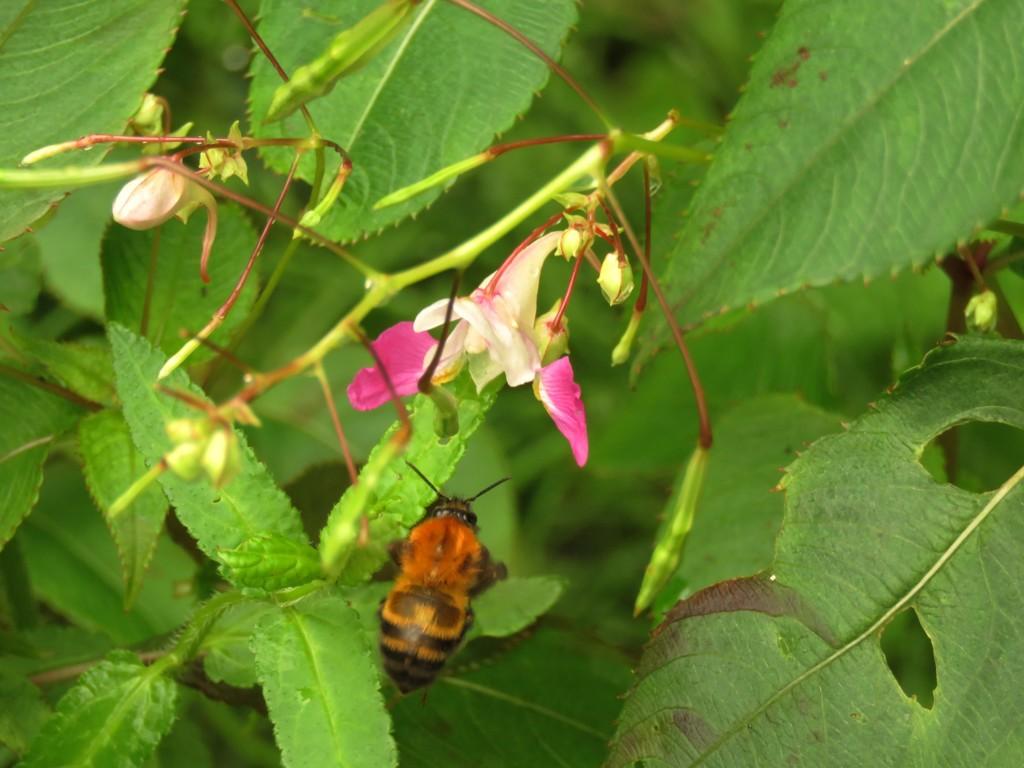 源平ツリフネに円花蜂