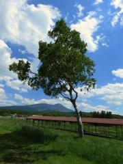 牧場の白樺越しに蓼科山