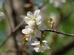 今咲いている桜
