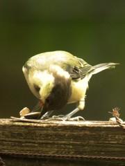 シジュウカラ若鳥