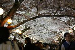 栗林公園  桜①