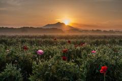 早朝の筑波山とポピー畑