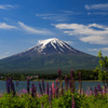 ルピナスと富士山