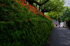 彼岸花の咲く道