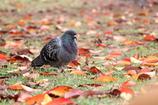 鳩と落ち葉