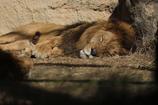 百獣の王の昼寝