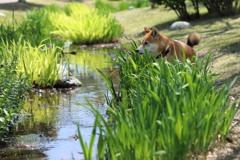 春の小川と柴犬