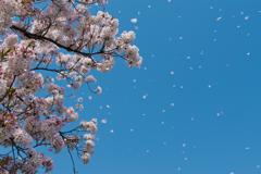 春色の吹雪