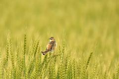 セッカ 麦畑でヒバリを待っていたら