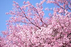 新宿御苑の寒桜