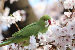 桜とインコ