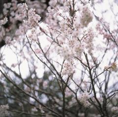 さくらんぼの花 夕方