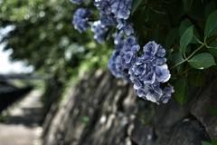 枯れぎみ紫陽花