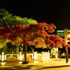 夜の鳳凰花