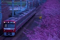 早朝の桜並木を縫って