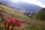 早朝のヒガンバナ