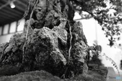 岩肌を伝う根