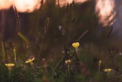 宵を待つ花