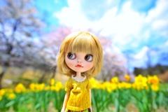 水仙の花の咲く丘#4