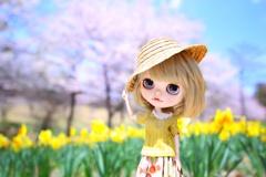 水仙の花の咲く丘#2