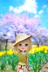 水仙の花の咲く丘#3