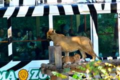 ライオンバス