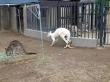 白いカンガルー
