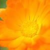 オレンジの花②