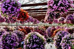 花ちょうちん