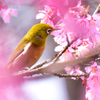 オカメ桜とメジロ(1)
