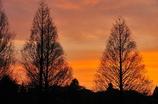 メタセコイヤ夕日の映える