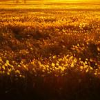 SONY ILCA-77M2で撮影した(葦原染まり)の写真(画像)