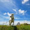 青空とヤギと軽トラ