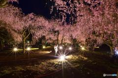 竹田しだれ桜まつり