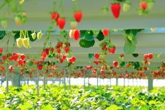 苺のパラダイス