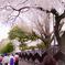 卒業を祝う桜
