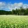 夏空と蕎麦の花