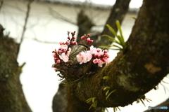 春の予感(あんず)