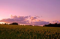 秋のひまわり畑