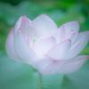 霞んだ蓮の花