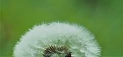 dandelion fluff