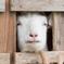 ヤギの煽り顔