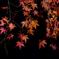 闇夜に浮かび上がる紅葉