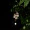 サガリバナと満月