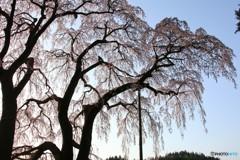 二本松市 合戦場のしだれ桜④