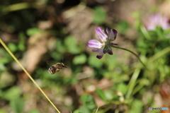 ミツバチと蓮華